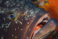 Dusky Grouper (Epinephelus marginatus) - 'endangered' in IUCN Red List - a few fish lice (parasitic copepods) are visible near its nostril<br /> France: Corsica, Lavezzi Islands, Cala di Grecu