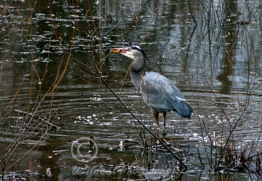 Great Blue Heron caught one.