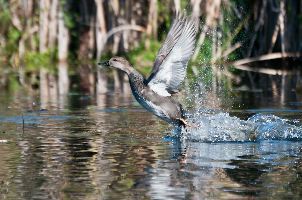 A Gadwall (Anas strepera) duck takes flight at Washington Park Arboretum, Seattle, Washington.