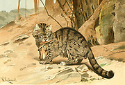 Wild Cat (Felis catus), From the book ' Royal Natural History ' Volume 1 Edited by  Richard Lydekker, Published in London by Frederick Warne & Co in 1893-1894