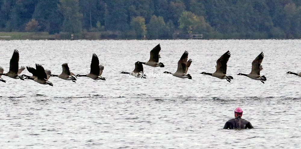Wearing a wet suit, a swimmer surprises a flock of Canada geese in Lake Washington south of I-90 during her daily swim.  The water temperature according to the lake buoy was 63-degrees. (Alan Berner / The Seattle Times)