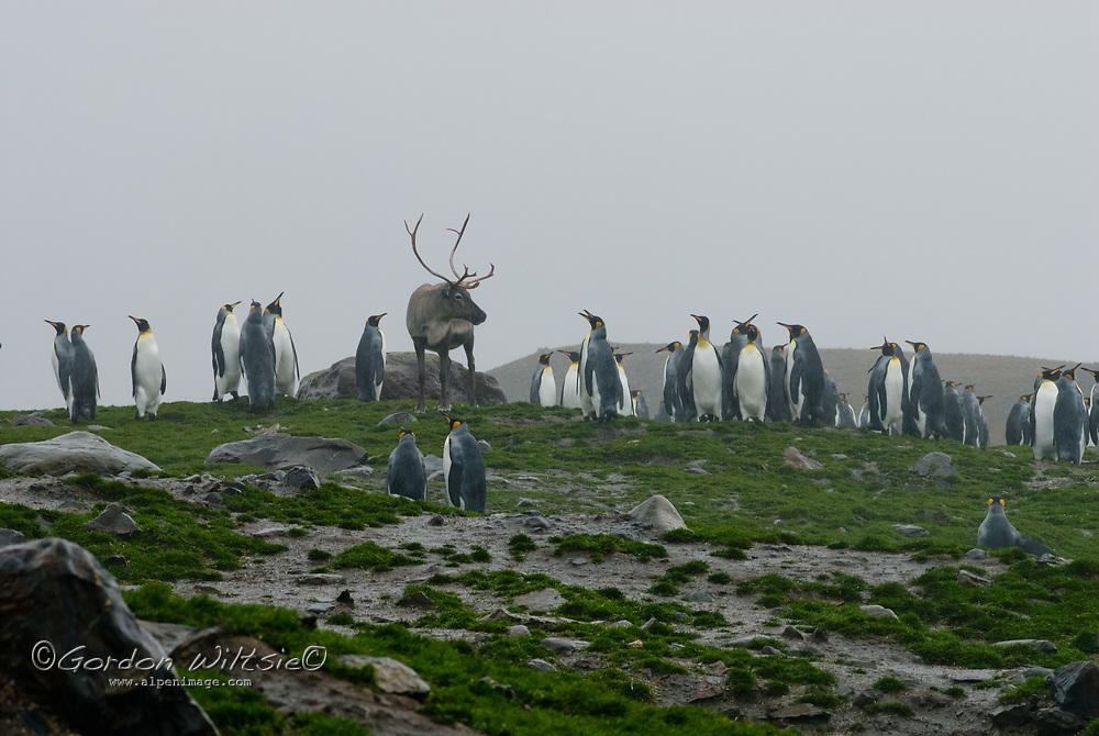 An elk, descended from animals imported by Swedish explorer Otto Nordenskjöld, walks among King Penguins at Saint Andrews Bay, South Georgia, Antarctica.