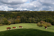 Cattle grazing field of grass at Bodenham Arboretum on 11th October 2020 near Kidderminster, United Kingdom.