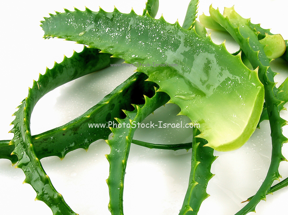 Aloe vera, Very short-stemmed plant with thick leaves with soothing mucilaginous juice; leaves develop spiny margins with maturity; native to Mediterranean region; grown widely in tropics and as houseplants