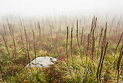The Granite Mountain Trail ascends through a foggy field of beargrass seed stalks (Xerophyllum tenax) in Alpine Lakes Wilderness Area. Hike 8 miles with 3800 feet elevation gain, starting from Exit 47 of Interstate 90 near Seattle, Washington, USA.