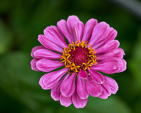 Pink Zinnia Flower. Image taken with a Fuji X-H1 camera and 80 mm f/2.8 macro lens