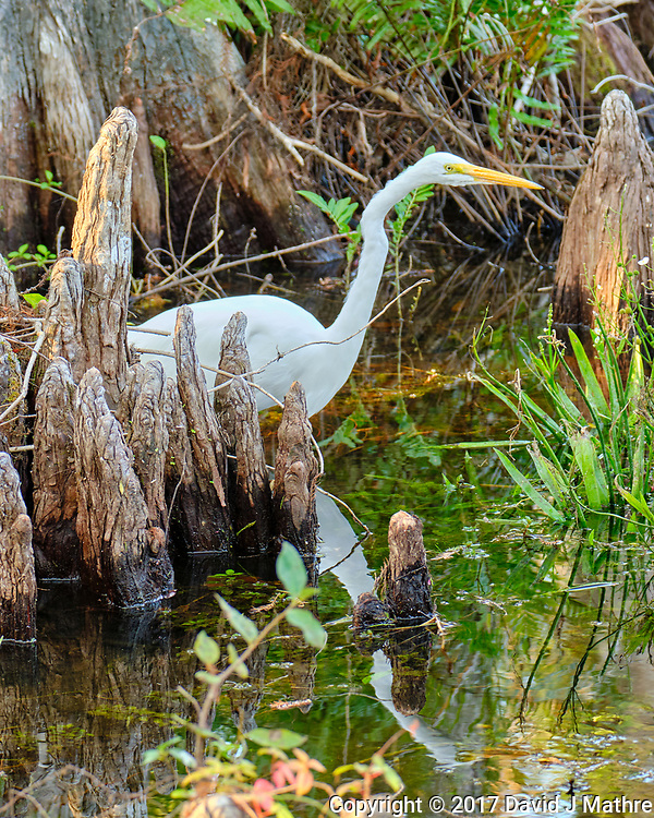 Great Egret (Ardea alba). Clyde Butcher Swamp Bungalow. Image taken with a Fuji X-T2 camera and 100-400 mm OIS lens.
