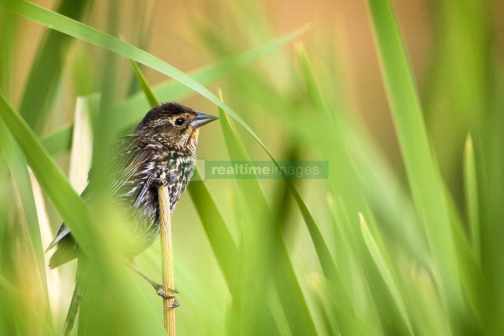 July 21, 2019 - Pine Warbler  (Credit Image: © Richard Wear/Design Pics via ZUMA Wire)