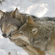 """Gray wolf (Canis lupus) Two adults """"""""kissing"""""""". Montana. Winter.  Captive Animal."""