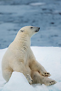 Polarbear relaxes on the ice | Isbjørn som slapper av på isen.