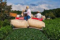 Japon, île de Honshu, région de Shizuoka, recolte du thé et le mont Fuji // Japan, Honshu, Shizuoka, tea harvest and Mount Fuji