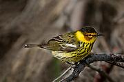 Cape May warbler (Setophaga tigrina)<br />Willow Island<br />Manitoba<br />Canada