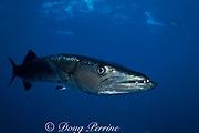 great barracuda, <br /> Sphyraena barracuda,<br /> Providenciales ( Provo )<br /> Turks and Caicos Islands ( Western Atlantic Ocean )