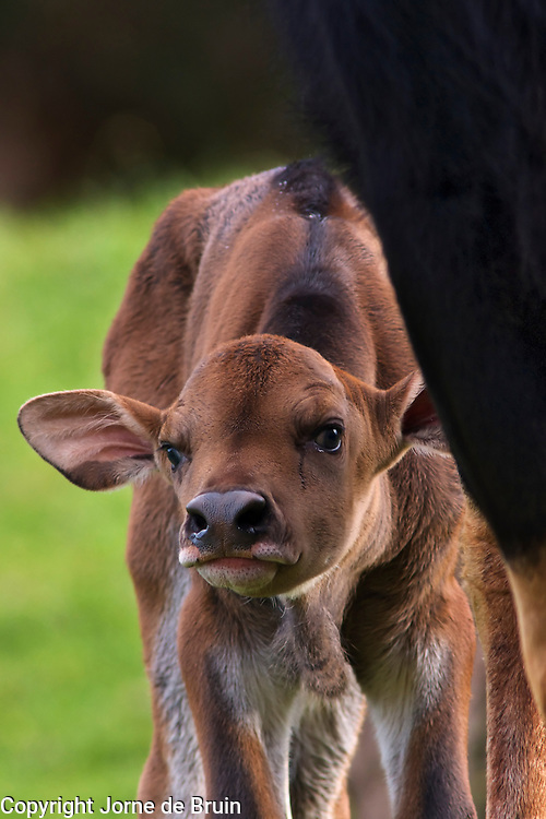 A recently born Gaur calf peeks out from behind his mothers leg in the Willdife Park of Cabárceno in Spain.