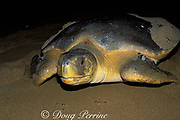 Australian flatback sea turtle, Natator depressus, on nesting beach has two i.d. tags on left flipper and one on right flipper, Curtis Island, Queensland, Australia