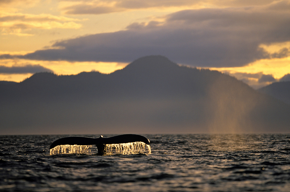 Alaska, Tongass National Forest, Tail flukes of Humpback Whale (Megaptera novaengliae) sounding in Frederick Sound