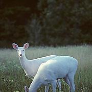 Whitetail Deer, (Odocoileus virginianus) Albino Does grazing in field. Late summer. Wisconsin.