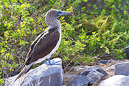 Blue footed booby on the Southeastern Island of Espanola in the Galapgos National Park, in Ecuador, South America which is home to sea lions, marine iguanas, blue footed boobies, and Nazca Boobies plus many different species of animals and birds.