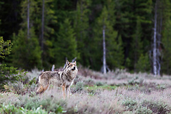 """Alpha female grey wolf of the Pacific Creek Wolf pack that roams Grand Teton National Park<br /> <br /> Read Story: """"Hungry Wolves""""<br /> http://www.the-hole-picture.com/articles/Hungry-Wolves.html"""