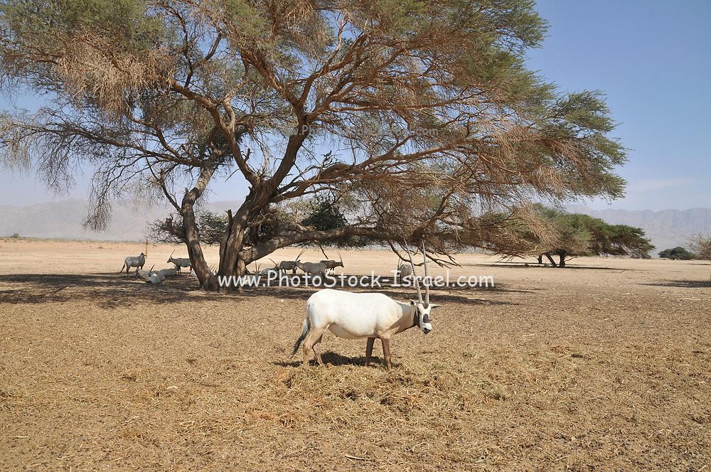 A breeding herd of Arabian Oryx (Oryx leucoryx) (AKA White Oryx) Photographed at The Yotvata Hai-Bar Nature Reserve breeding and reacclimation centre, Aravah, Israel