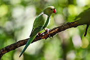 """View of a wild green parakeet on a tree branch in St James' Park in central London on Monday, June 22, 2020. Wild green parakeets are interacting with the public around St James' Park. <br /> Dubbed """"posh pigeons"""" by unimaginative Londoners, these brilliant green parakeets stand out among the fauna of Northern Europe's mostly grey cities. The story of how they ended up in London is a matter of some discussion and plenty of myth. <br /> Unverified various sources say that parakeets escaped from the branch of Ealing Studios used for the filming of The African Queen """"Isleworth Studios"""" in 1951. Parakeets escaped from damaged aviaries during the Great Storm of 1987. A pair were released by Jimi Hendrix in Carnaby Street, London, in the 1960s. (Photo/ Vudi Xhymshiti)"""