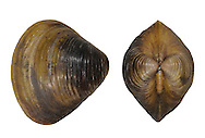 Asiatic Clam - Corbicula fluminea