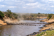 Wildebeest (Connochaetes taurinus) crossing Mara River in August 2018.