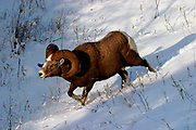 robust Bighorn Sheep (Ovis canadensis)  rushes down the slope to engage a competitor.  Kootenay NP, BC, Canada