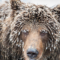 Headshot of ice-covered grizzly bear on the Fishing Branch River at the base of Bear Cave Mountain in the Yukon Territory Canada.