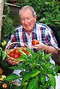 Senior man picking tomatoes from his vegetable garden.