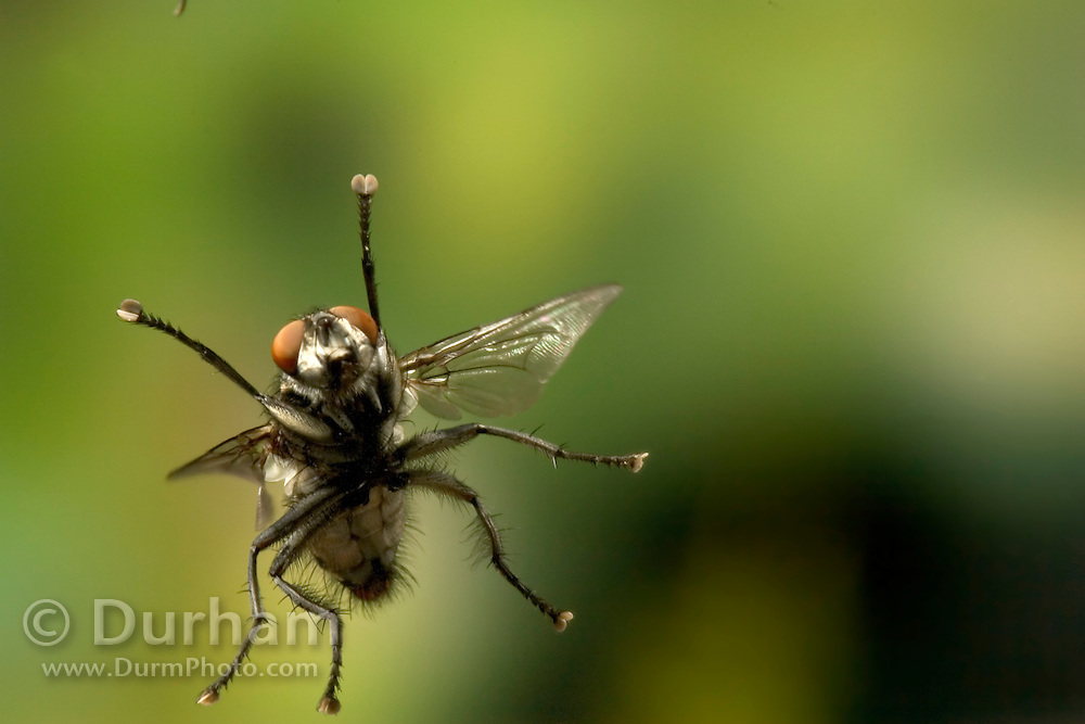 A fly of undetermined species engages a green bottle fly (above –  out of frame) in a mid-air tussle. photographed with a high-speed camera in Western Oregon.