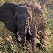 African Elephant, (Loxodonta africana) sub- adult standing in dry river bed of the Sabie River. Kruger. Evening.