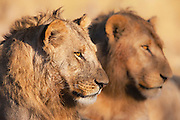 A pair of adolescent male African lions (Leo Panthera) rest together in the warmth of the sun on a cool winter morning, Chobe National Park, Botswana, Africa