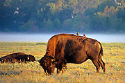Birds riding on back of buffalo at Shelby Farms Patriot Lake Memphis TN.