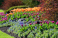 Spring Tulips flowering in the gardens at Queen Elizabeth Park in Vancouver, British Columbia, Canada