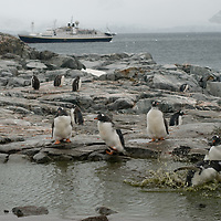 Gentoo Penguins bathe in a pool on Petermann Island, Antarctica. The National Geographic Endeavor is anchored behind.