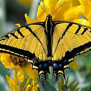 Butterflies, Tiger Swallowtail, (Papilio glaucus) On Arrowleaf Balsamroot flower.Montana