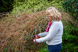 Lightly pruning Acer palmatum dissectum before winter. Removing old wood with secateurs