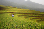 A hilltribe woman stands along a paddy field, Hoang Su Phi District, Ha Giang Province, Vietnam, Southeast Asia
