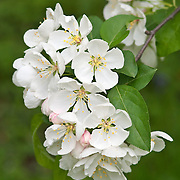 FLOWERING CRABAPPLE - MALUS 'WHITE ANGEL'