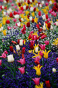 Tulips, Buchart Gardens, Canada