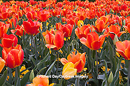 65021-029.13 Orange and yellow tulips (Tulipa sp), with yellow pansies (Viola sp) MO
