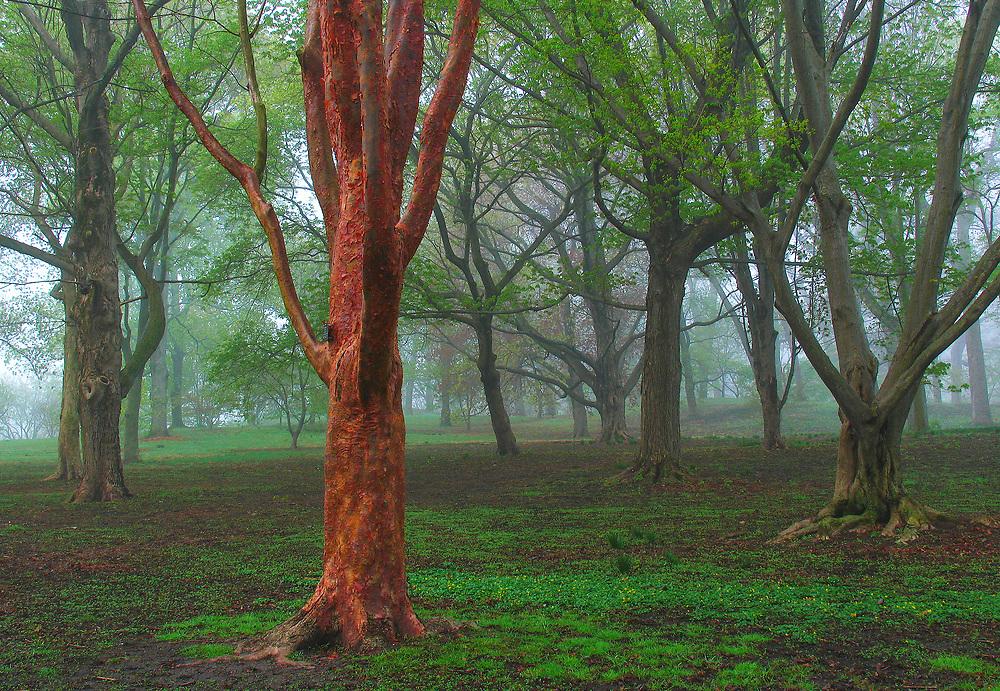 Paper Bark Maple Tree at Boston Arnold Arboretum of Harvard University.