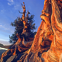 ANCIENT BRISTLECONE PINE FOREST, California.  Sunset glows on a tree trunk that is likely several thousand years old, growing atop the harsh, high-altitude White Mountains near Bishop.