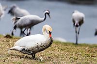 Sweden, Lake Hornborga. Annual migration of Common Cranes. Mute Swan.