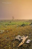 Scene out of the wild west with prairie grasslands and a cattle skull, Grasslands National Park, Saskatchewan, Canada