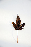 Still Life Photography. Fallen leaf photographed on white with light patterns.