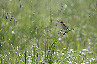 Whinchat (Saxicola saxicola) adult male. Nemunas regional reserve, Lithuania. Mission: Lithuania, June 2009