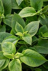 Coleus 'Lime Delight'. Solenostemon scutellarioides