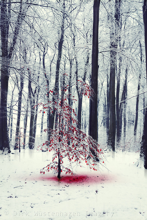 Small tree with red leaves in snowy forest
